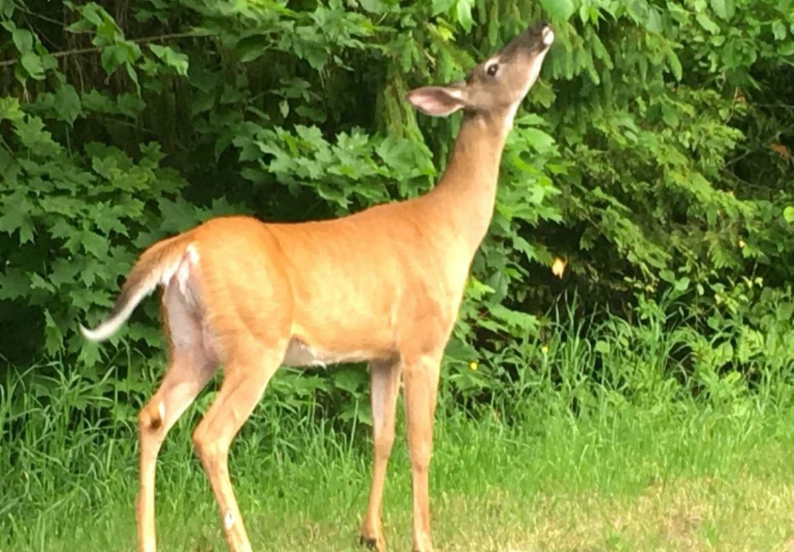 Wildlife just out the door of Muskoka Soul, muskoka cottae rentals