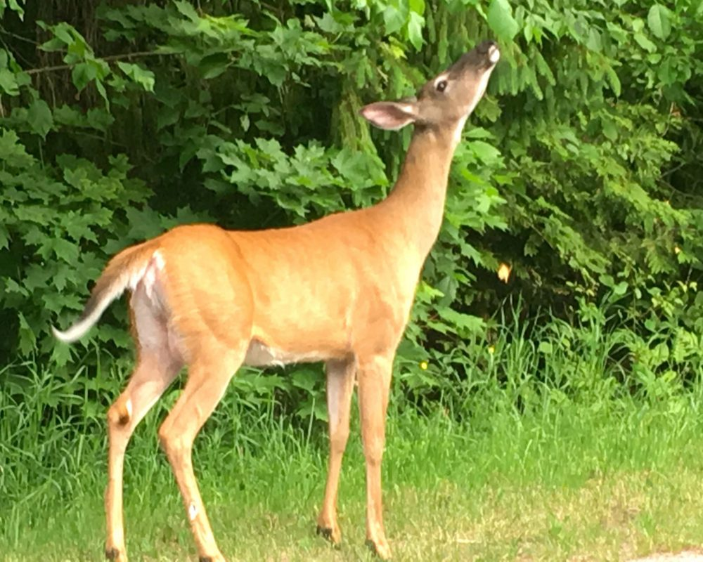 Say hello to nature and wildlife as you walk out the door of Muskoka Soul, the Lake House & Cliff Bay , 2 vacation rentals on Lake Muskoka