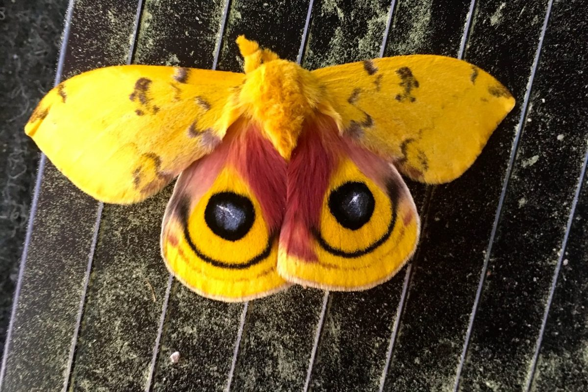 46 - Local Wildlife Moth